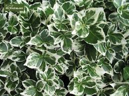 Euonymus fort.'Emerald Gaiety' 2ltr pot