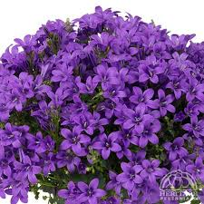 Pot plants for baskets and containers