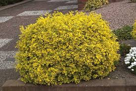 """Euonymus fort """"emerald n Gold' 2ltr pot"""