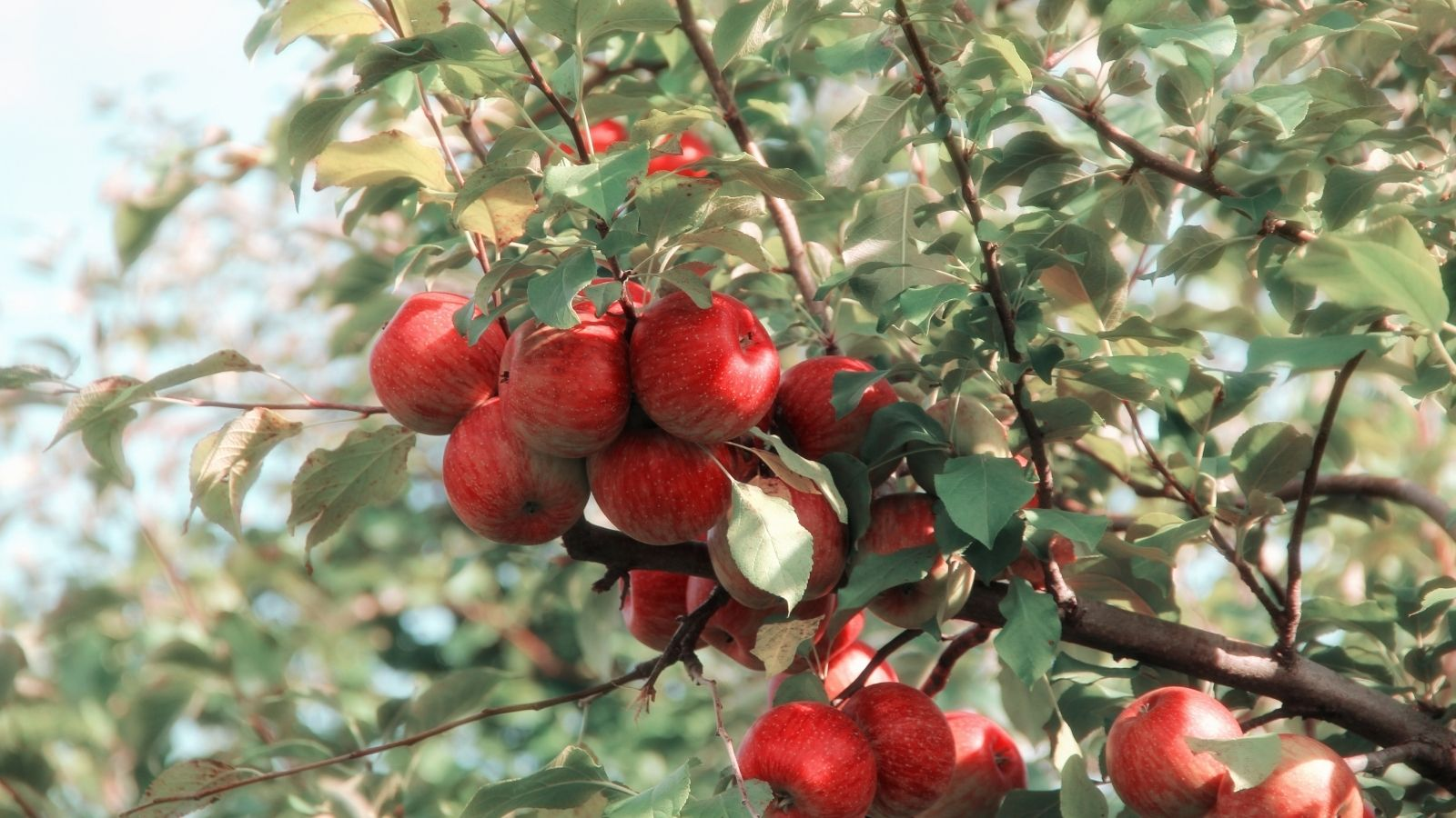 Close-up of red apple trees on branch
