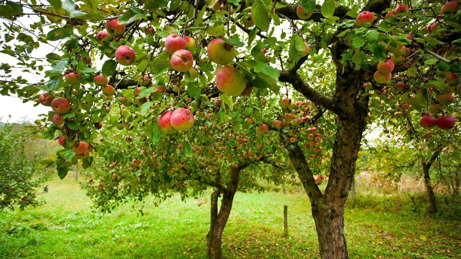 Two apple trees fruiting with green grass