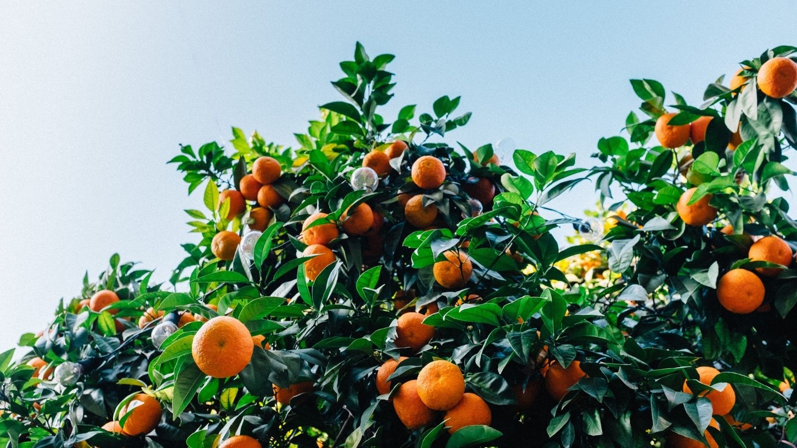 Clementines growing on a tree, sky in background