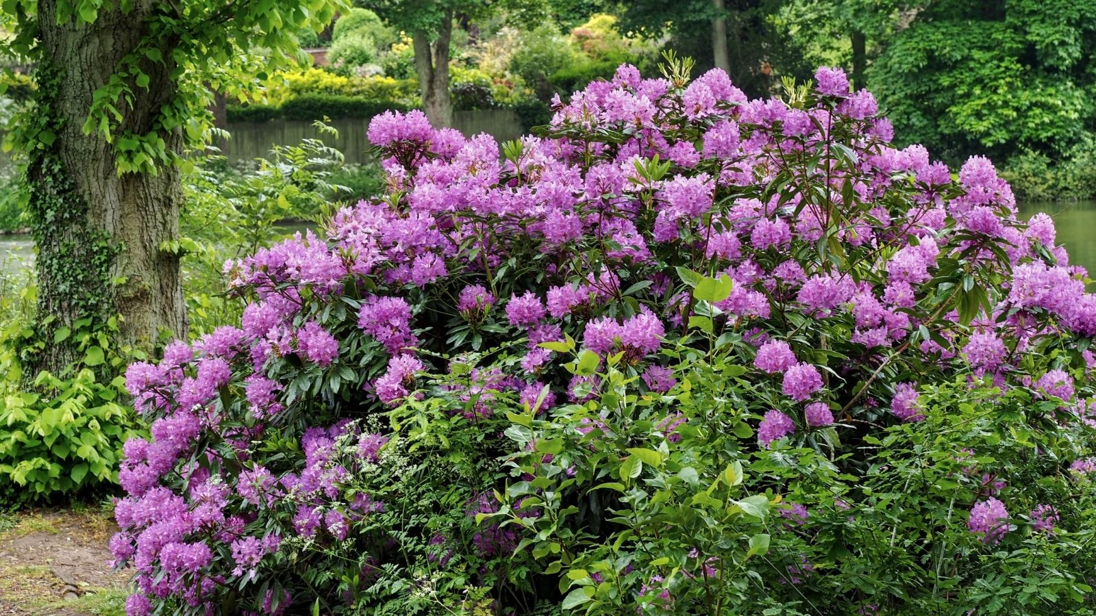 Large bush of rhododendrons