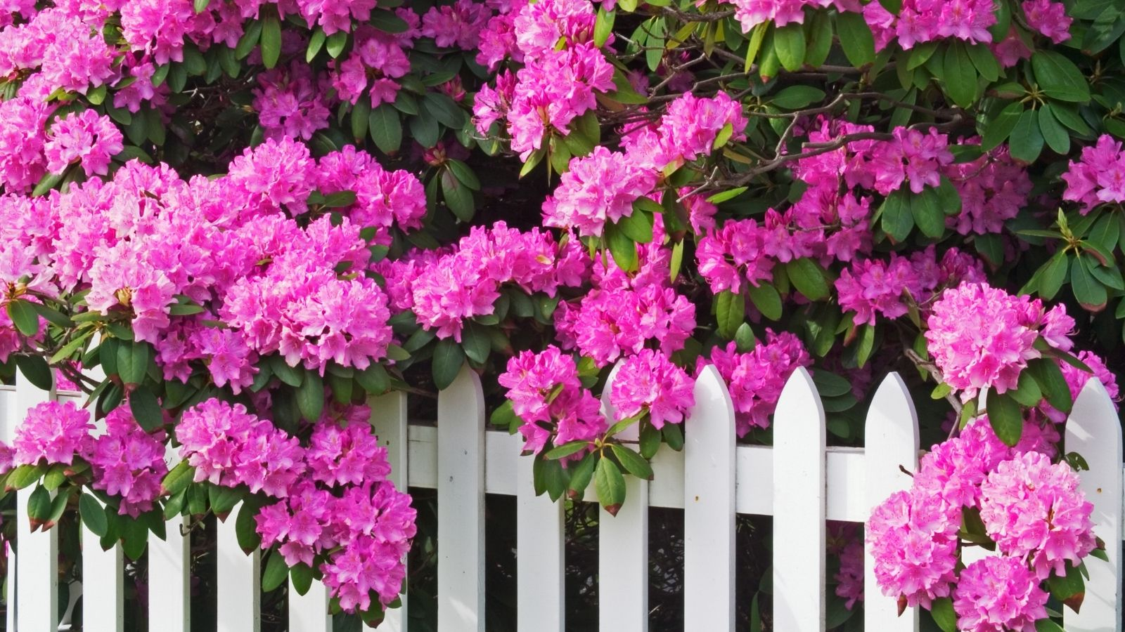Bright pink rhododendrons hanging over white picket fence