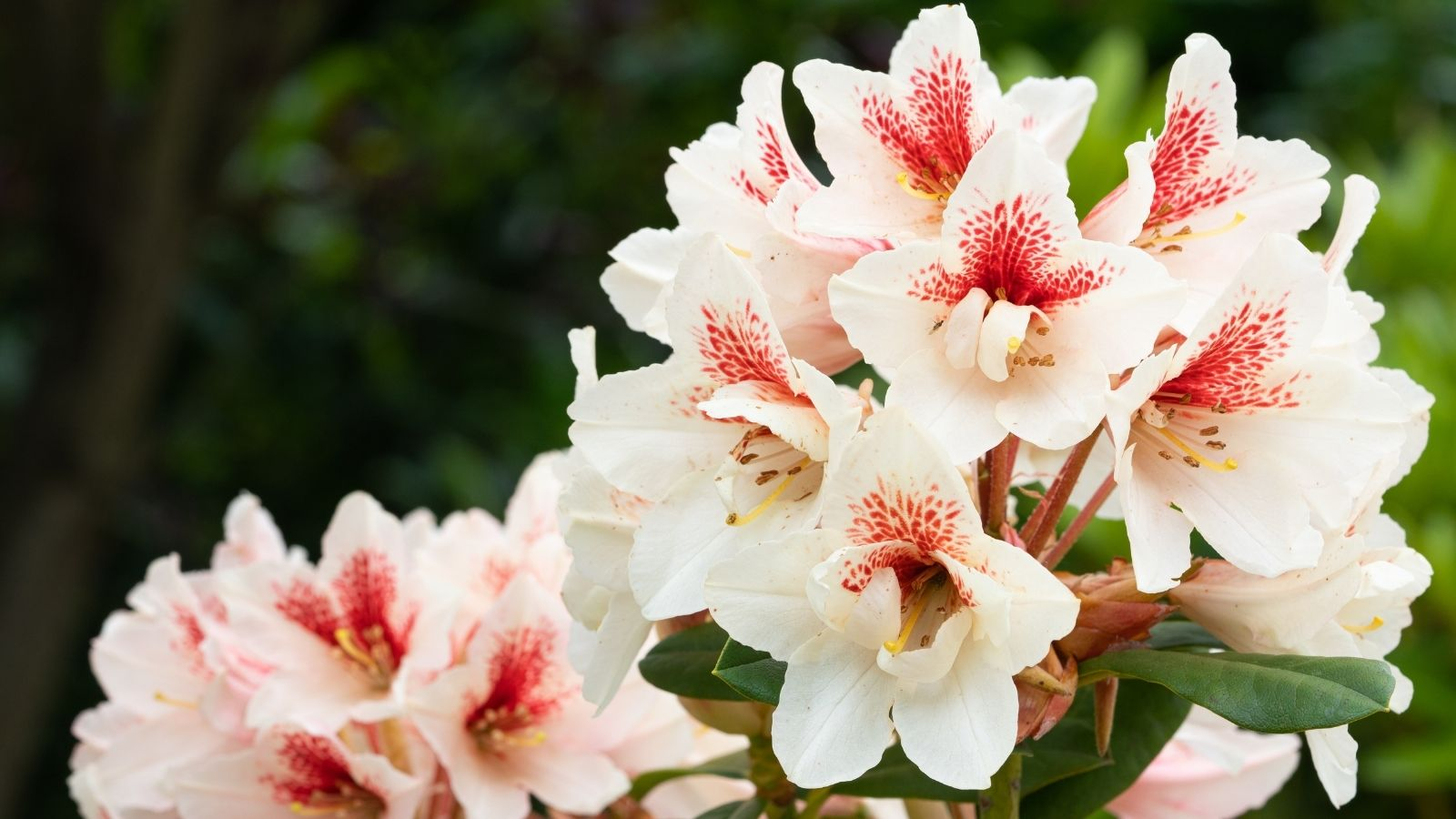 White rhododendrons with pink speckles